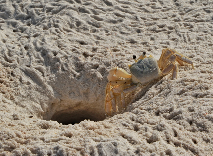 Sand Crab at St George Island State Park