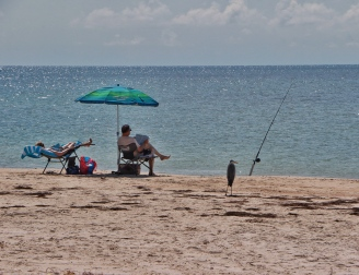 A blue heron waits for fish at St George Island State Park