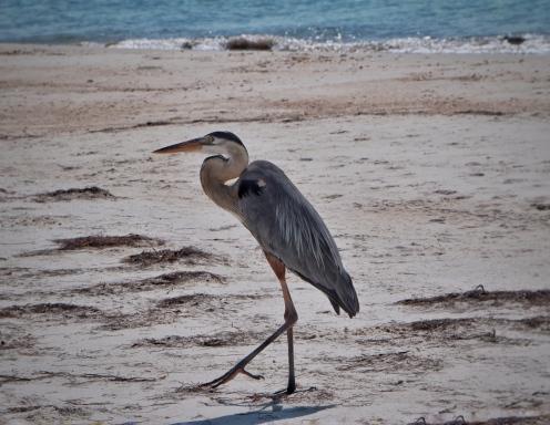 Blue Heron at St George Island State Park